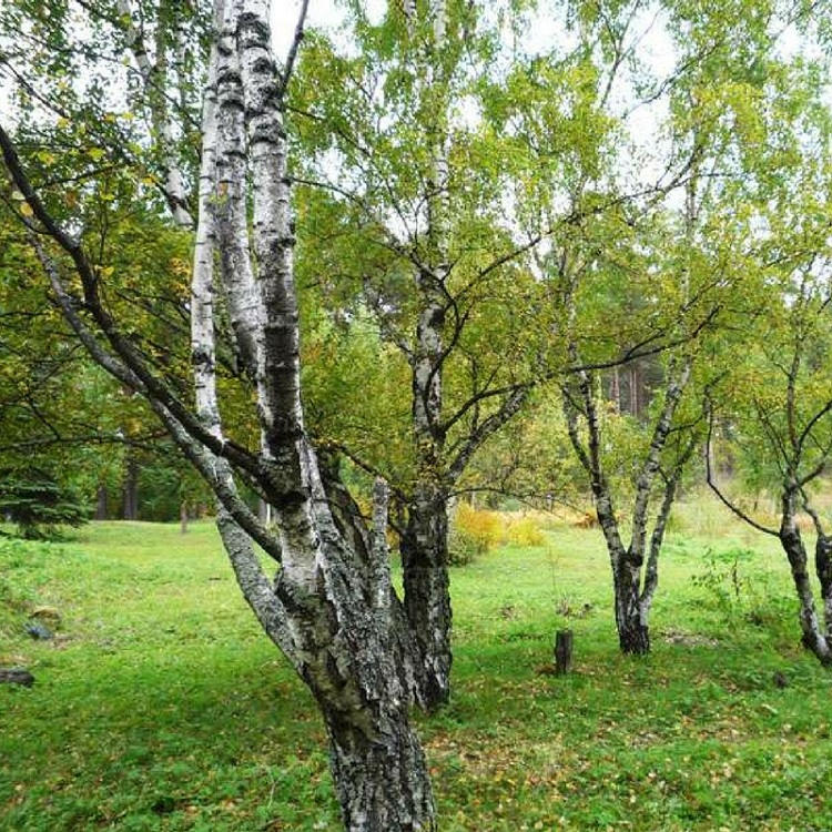 karelian-birch-royal-tree